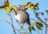 Sparrow, sky, leaves