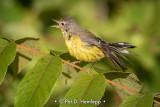 Calling warbler