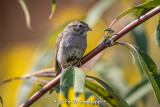 Fall Chipping Sparrow