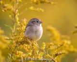 Sparrow on gold