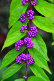 07 American beautiberry, Callicarpa americana 8028