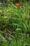 Milkweed - India-1-9483