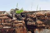 Indian palm squirrel - 9531
