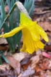 02-18 Daffodil i3423