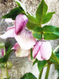 07 Helleborus x hybridus 3676-soho