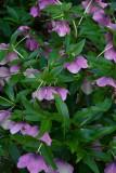 11 Helleborus x hybridus 1669
