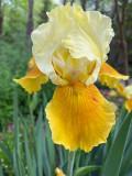 04 15 German iris i4039