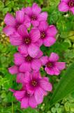 17 Pink wood sorrel i4080