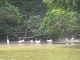 Egrets also become pink