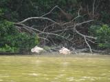A couple of sleeping, young flamingos