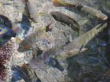 Stripey fish