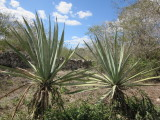 Agave plant fibers (henequen) used to make rope
