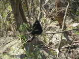Spider monkey - on a tree by the water