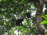 Howler monkeys - these guys were extremely loud