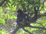 Mother and baby spider monkeys