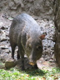 Peccary - you could smell onions - that's how you know they are around
