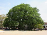 La Pochota - a centuries-old ceiba tree - venerated by the indigenous people who founded the town