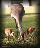 Sandhill Crane mother with babies.