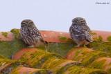 little owl.... steenuil