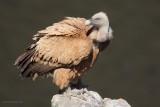 griffon vulture.... vale gier