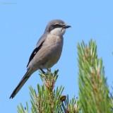 southern grey shrike.... zuidelijke klapekster