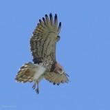 short-toed eagle.... slangenarend