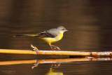 grey wagtail ..... grote gele kwikstaart