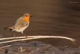 robin ..... roodborst