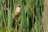 great reed warbler ..... grote karekiet