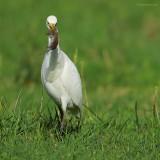 cattle egret.... koereiger