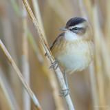 moustached warbler…. Zwartkoprietzanger