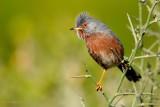 dartford warbler…. provençaalse grasmus