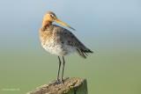black-tailed godwit…. grutto