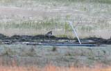 Vanellus cinereus ( Gråhuvad vipa )