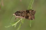 Agrotis clavis ( barkfärgat jordfly )