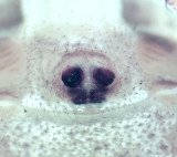 Xysticus lanio ( Lövkrabbspindel )