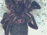 Zelotes latreillei ( Ängssvartspindel )