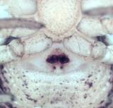 Ozyptila trux ( Ängspaddspindel )