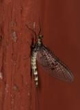Ephemera danica ( Åsandslända )