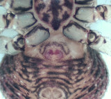 Ozyptila praticola ( Brokpaddspindel )