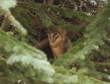 Barn owl ( Tornuggla )
