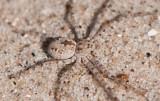 Philodromidae ( Snabblöparspindlar )
