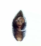 Pardosa amentata ( Prickvargspindel )