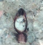 Pardosa lugubris ( lövvargspindel )