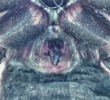 Gnaphosa nigerrima ( Sumphuggspindel )