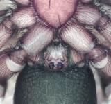Zelotes electus ( Rosthuvad svartspindel )
