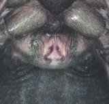 Drassyllus pusillus ( Dvärgsvartspindel )