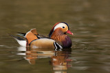 Mandarin duck ( Mandarinand )