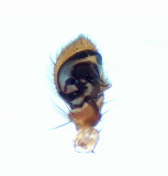 Thomisidae palpe