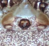 Xysticus luctuosus ( Skogskrabbspindel )